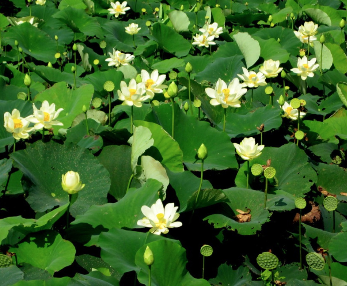 The American Yellow Lotus