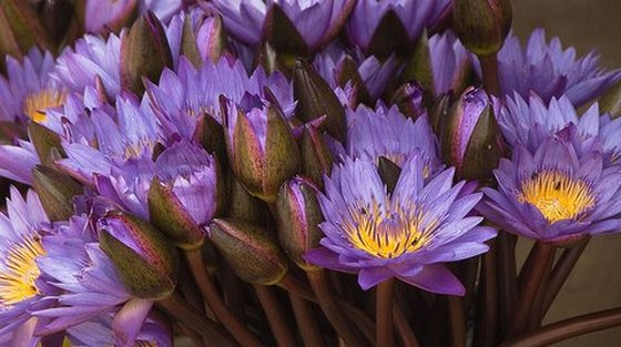 Blue Lotus Flower Meanings And Symbolism