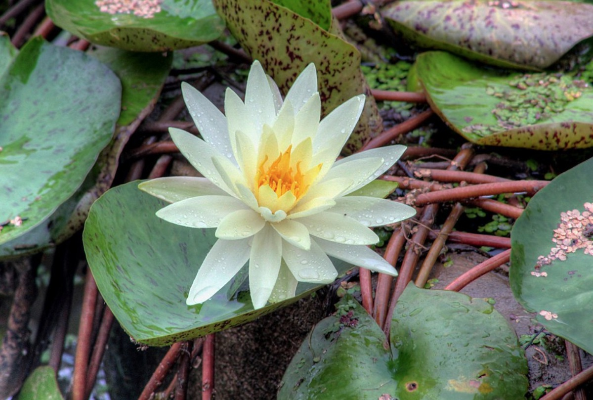 A Lotus Flower in Bloom in China