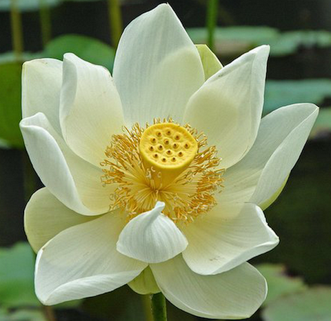 Lotus flower meaning and symbolisms lotus flower meaning mightylinksfo