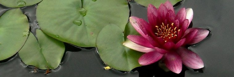 Pink Lotus Flower Meanings And Symbolisms