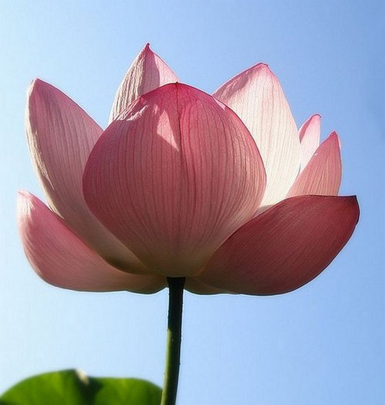 Pink lotus flower meanings and symbolisms pink lotus flower mightylinksfo