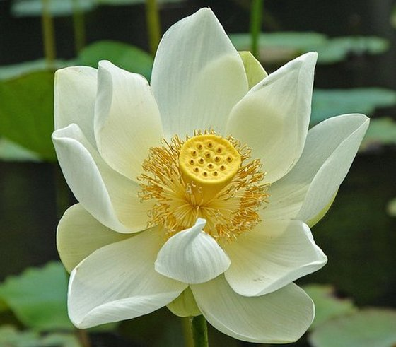 White lotus flower symbolism and meanings white lotus flower mightylinksfo